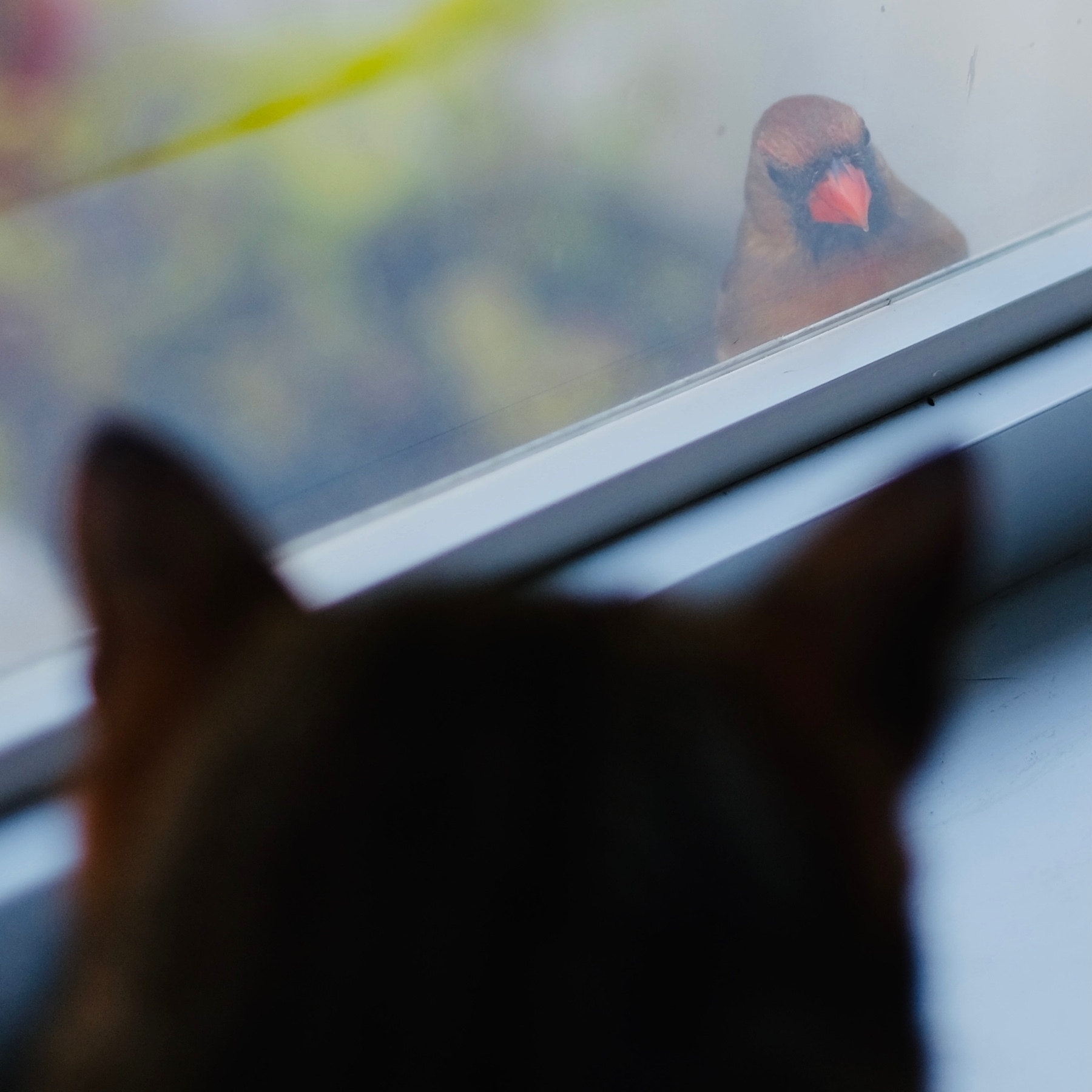 shadow of cat looking at cardinal through window