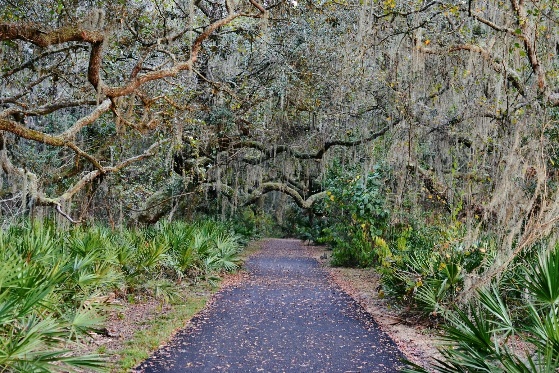 spanish moss covers live oak trees along a path