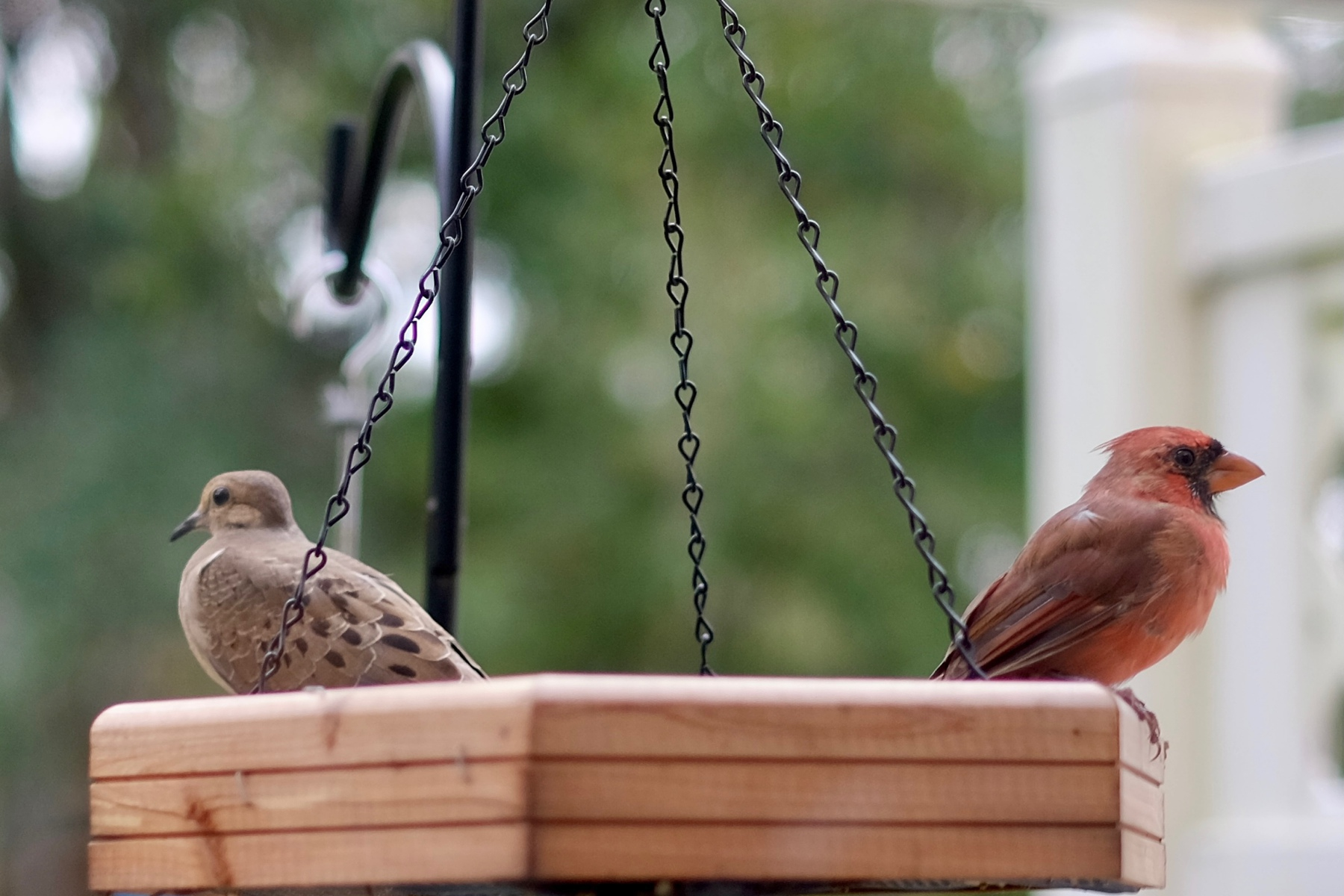 Morning dove and cardinal share a feeder