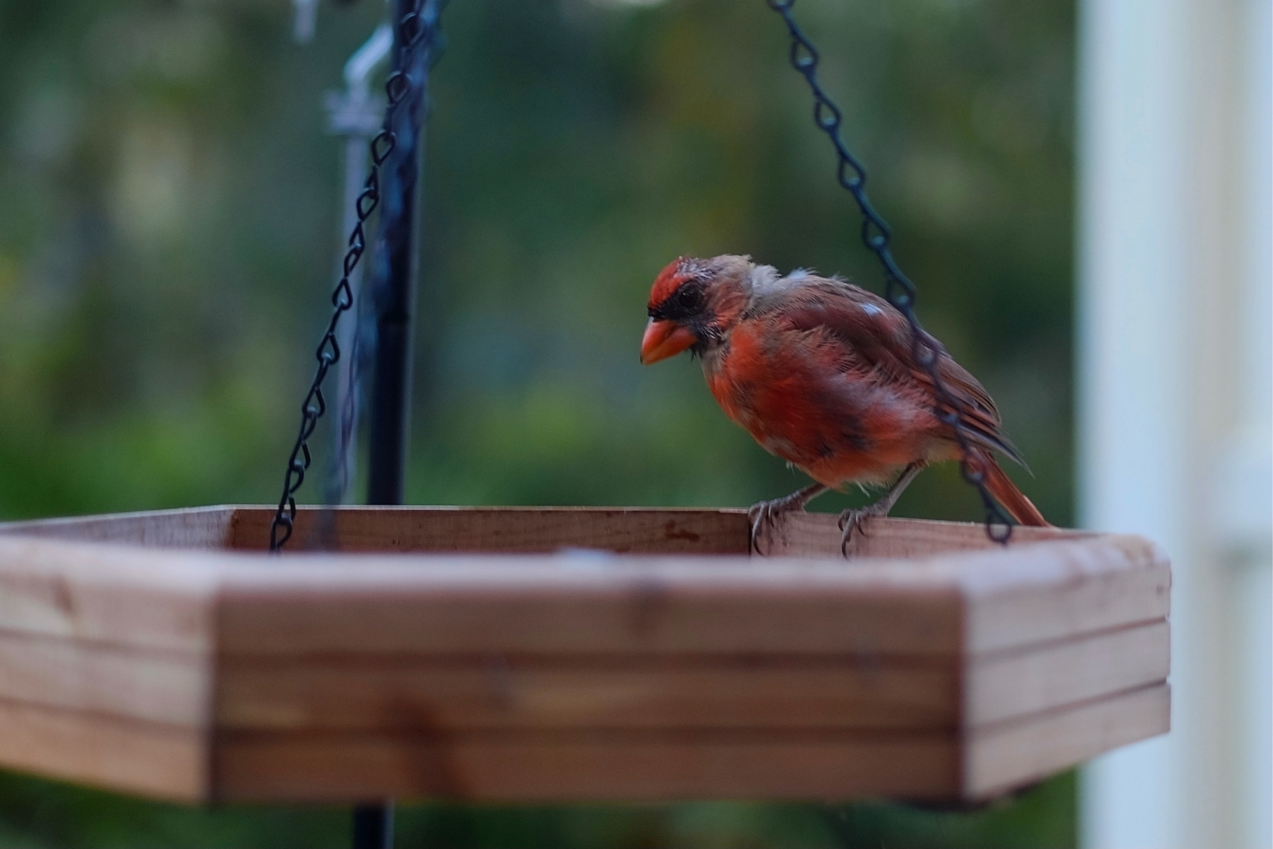 cardinal with distressed feathers