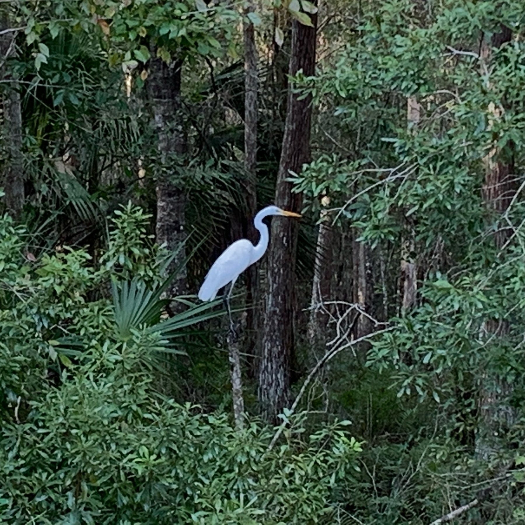 great egret standing on tree branch in forest