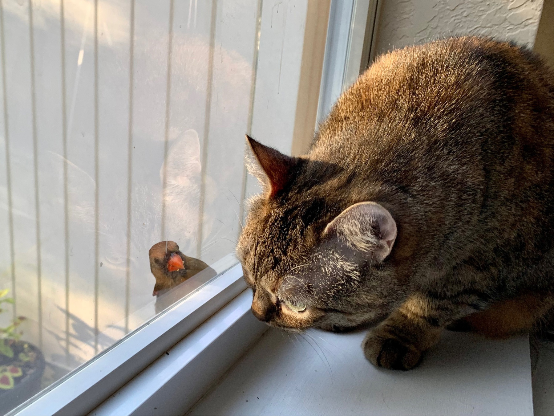 Cat looks at cardinal in window
