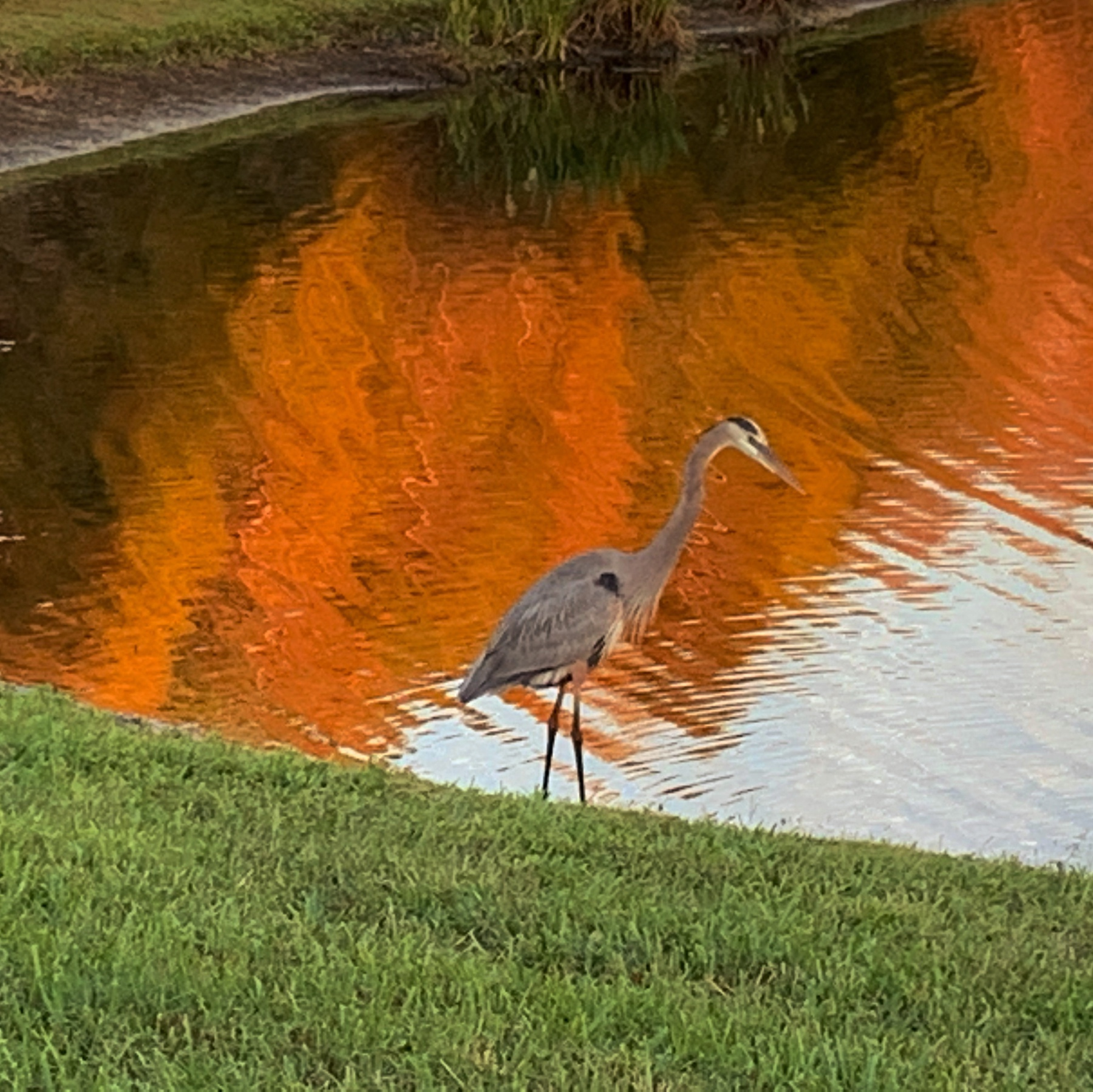 heron fishes at waters edge