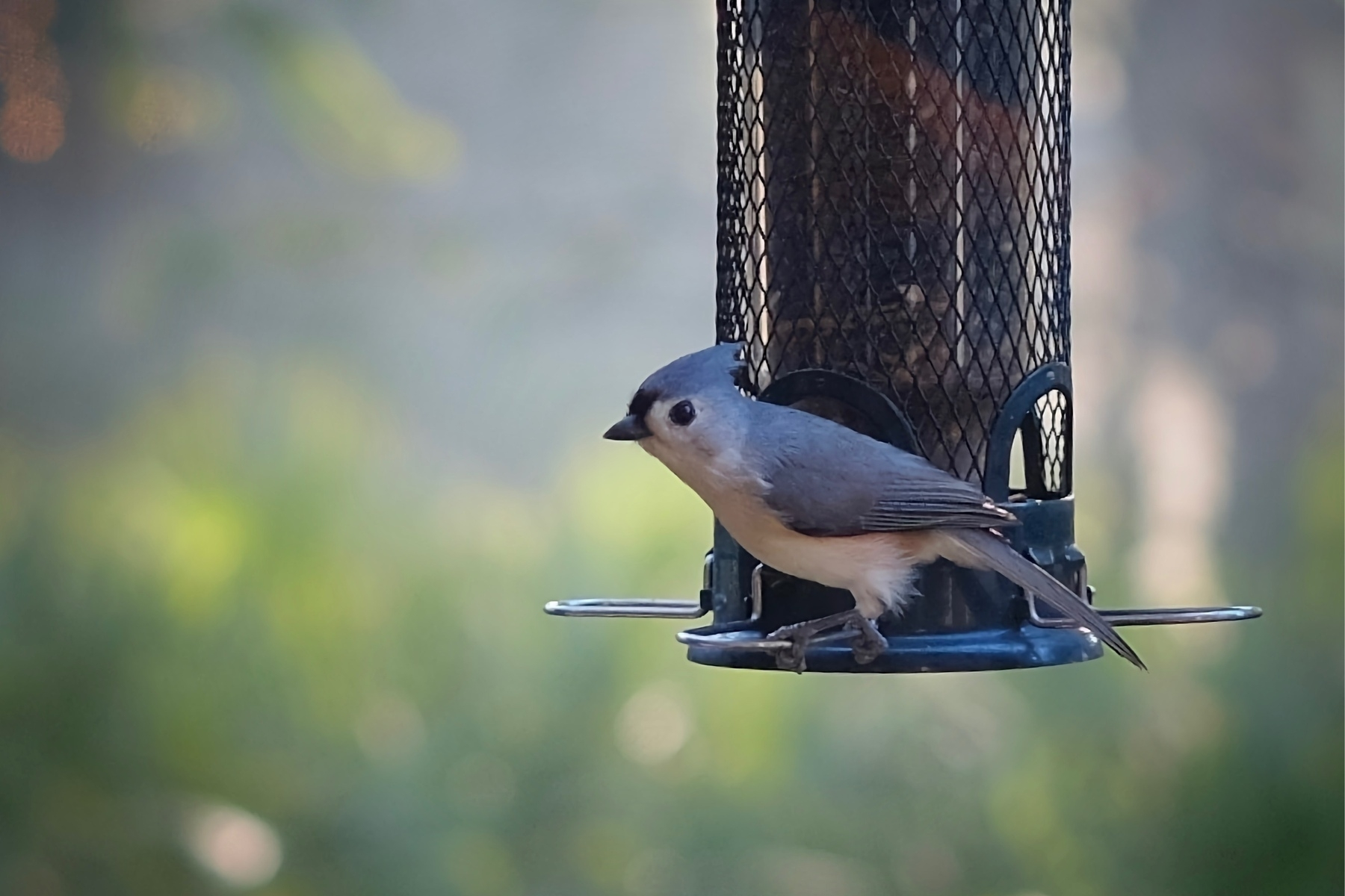 Titmouse bird standing at seed feeder