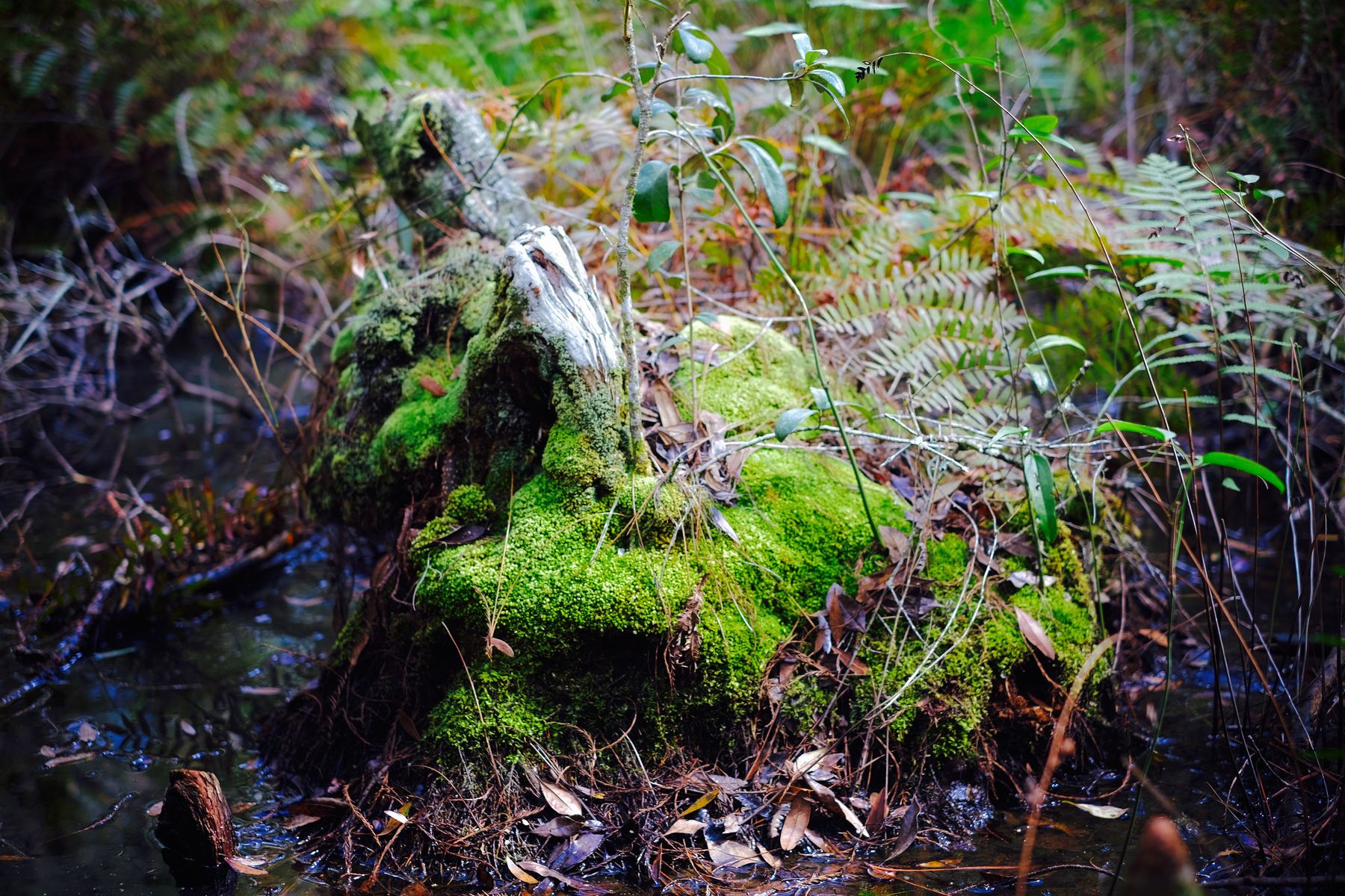 moss covered tree stump in swamp