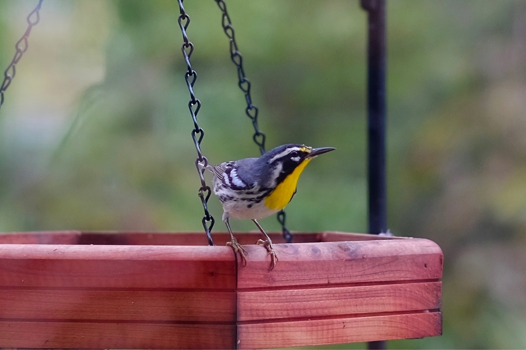 Yellow-throated Warbler bird